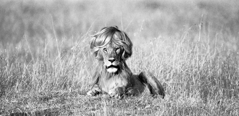 leon tumbado sobre la hierba con melena peinada