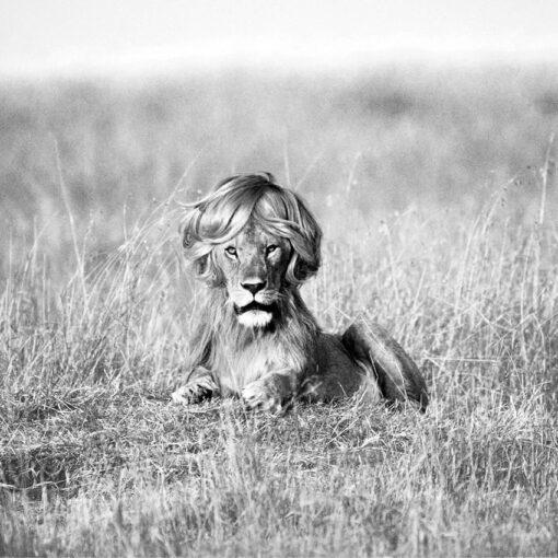 leon con melena timotei 510x510 - Nuestro blog